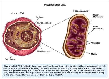Image result for mitochondrial dna